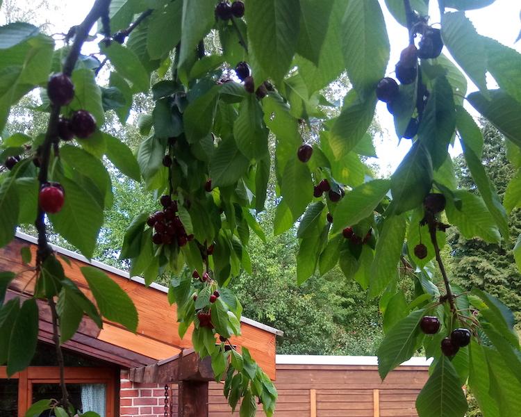 Kirschen im Baum